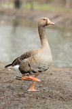 Oies grises Photographie stock libre de droits