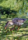 Oies grises Photo libre de droits