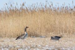 Oies grises au printemps Image stock