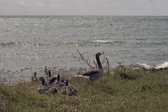 Oies grises avec ses poussins Photo libre de droits