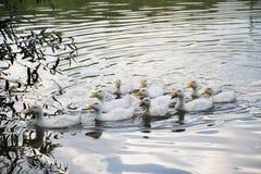 Oies grises blanches dans le village Photos stock