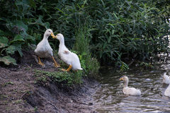 Oies grises blanches dans le village Photos libres de droits