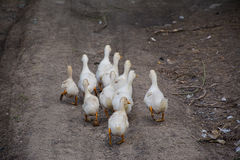 Oies grises blanches dans le village Images stock