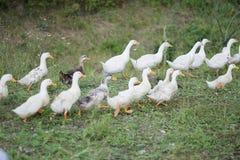 Oies grises blanches dans le village Photographie stock