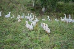 Oies grises blanches dans le village Images libres de droits