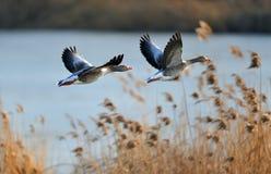 Oies grises en vol Photo stock
