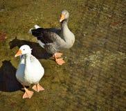 Oies grises et blanches Image libre de droits