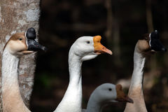 Oies grises et blanches Images libres de droits