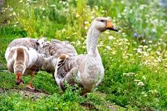 Oies grises sur l'herbe verte Images libres de droits