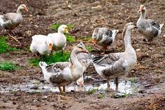 Oies grises sur la terre Photo stock