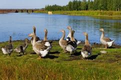 Oies grises sur les banques Images stock