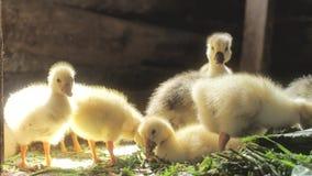 Oies, jeunes oies jaunes mangeant l'herbe clips vidéos