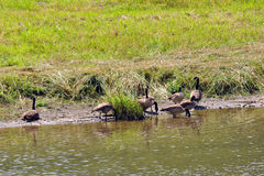 Oies à la rivière d'Elkader Photo libre de droits