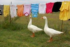 Oies le jour de lavage Photographie stock libre de droits