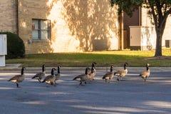 Oies marchant au soleil photographie stock libre de droits