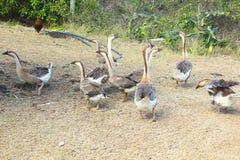 Oies marchant autour Photo stock