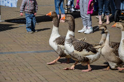 Oies marchant sur le marché Photographie stock