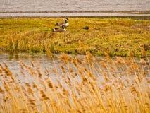 Oies masculines et femelles de Canada Photo libre de droits