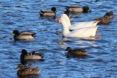 Oies nageant avec des canards Images stock