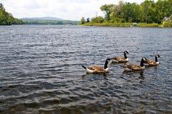 Oies nageant dans un étang Images libres de droits