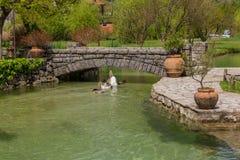 Oies nageant en bas de la rivi?re pendant le jour d'?t photos libres de droits