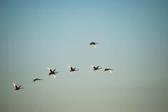 Oies noires en vol Photos libres de droits