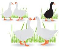 Oies noires et blanches Images libres de droits