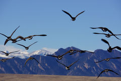 Oies pilotant des sud Images stock