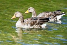 Oies sauvages Images libres de droits