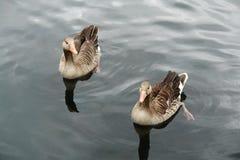 Oies sauvages Image libre de droits