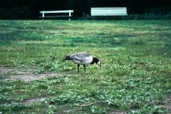 Oies sauvages, belle oie photo libre de droits