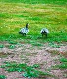 Oies sauvages, belle oie photos stock