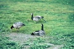 Oies sauvages, belle oie image libre de droits