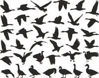 Oies sauvages d'oiseau Image libre de droits