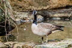 Oies sauvages dans l'étang Images stock