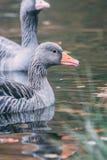 Oies sauvages dans le lac Image libre de droits