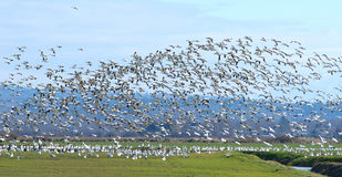 Oies sauvages no.2 Images libres de droits