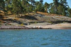 Oies sauvages sur l'île en pierre Photos stock