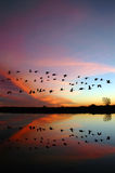 Oies sauvages volantes et un coucher du soleil rouge Photographie stock