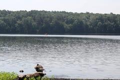 Oies se tenant dans l'eau photographie stock libre de droits