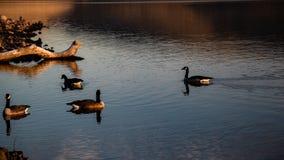 Oies sur la surface de lac dans l'après-midi image libre de droits