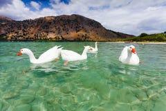 Oies sur la surface du lac Kournas à l'île Crète, Grèce Image libre de droits