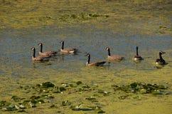 Oies sur le lac. Images libres de droits