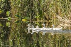 Oies sur le lac Photos stock