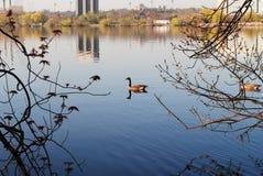 Oies sur le lac Mendota Photographie stock libre de droits