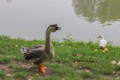 Oies sur le rivage de lac Photos stock