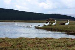 Oies venant à terre dans le fichier unique photographie stock libre de droits