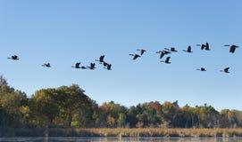 Oies volant à travers le lac Photo libre de droits
