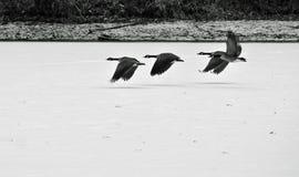 Oies volant au-dessus d'un lac figé images stock