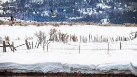 Oies volant au-dessus des barrières en hiver images libres de droits